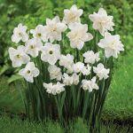 Wonderful White Daffodils