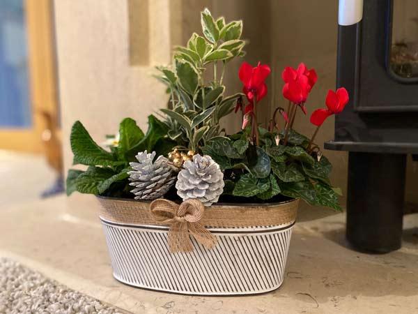 Christmas plant centrepiece