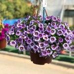 Calibrachoa Eyeconic Purple