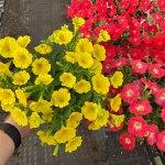 Petunia Capella Hello Yellow