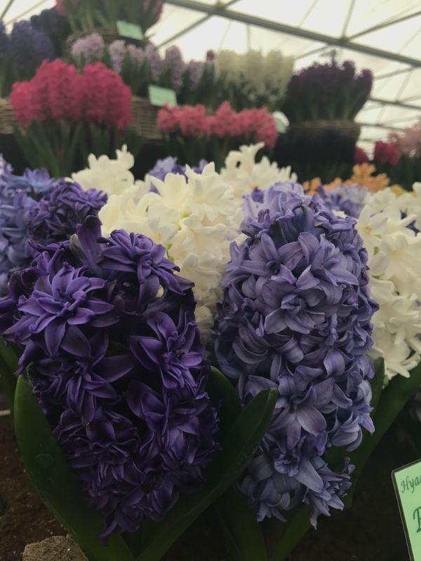Hyacinth Blues Mix