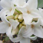 Daphne Perfume Princess White
