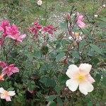 Rosa 'Mutabilis'