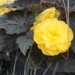 Begonia Nonstop