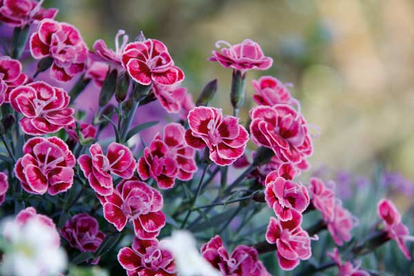 Dianthus Purple Wedding