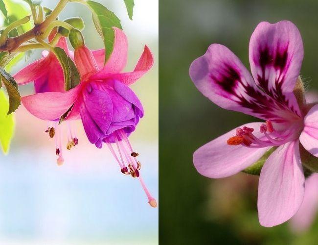 Hardy Fuchsia vs Hardy Geranium