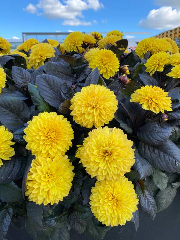 Dahlia Maggiore Chocolate Yellow