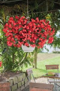Begonia BIG