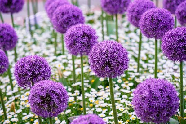 Alliums Purple Sensation