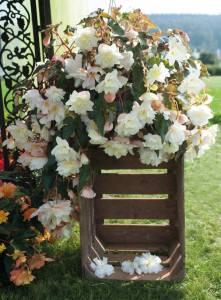 Begonia Illumination White