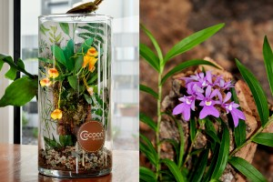 Hassinger Cocoon Orchids