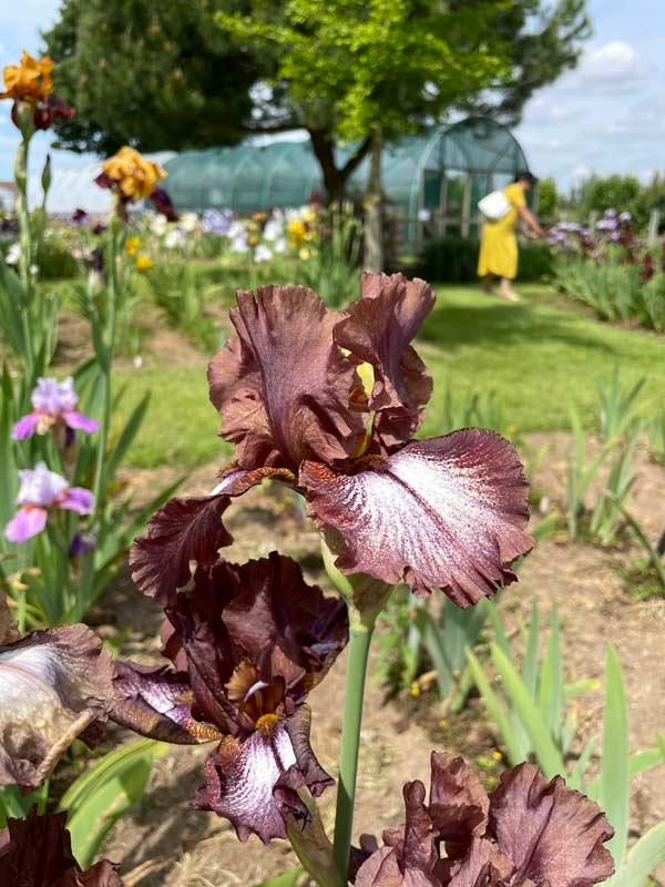 Iris 'Huckleberry Fudge'