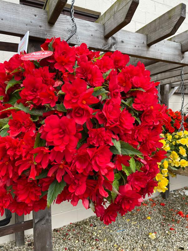 Begonia Nonstop Joy