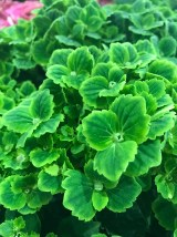 Hydrangea 'Rembrandt Vibrant Verde' has the most intriguing green flowers. Set to be loved by florists and gardeners alike!