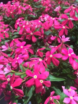 Catharanthus (Vinca) 'Soiree Kawaii Coral'