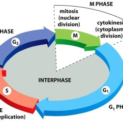Drag The Diagram Of Stages Meiosis Pac Sni 35 Wiring Unit 4 Cell Cycle
