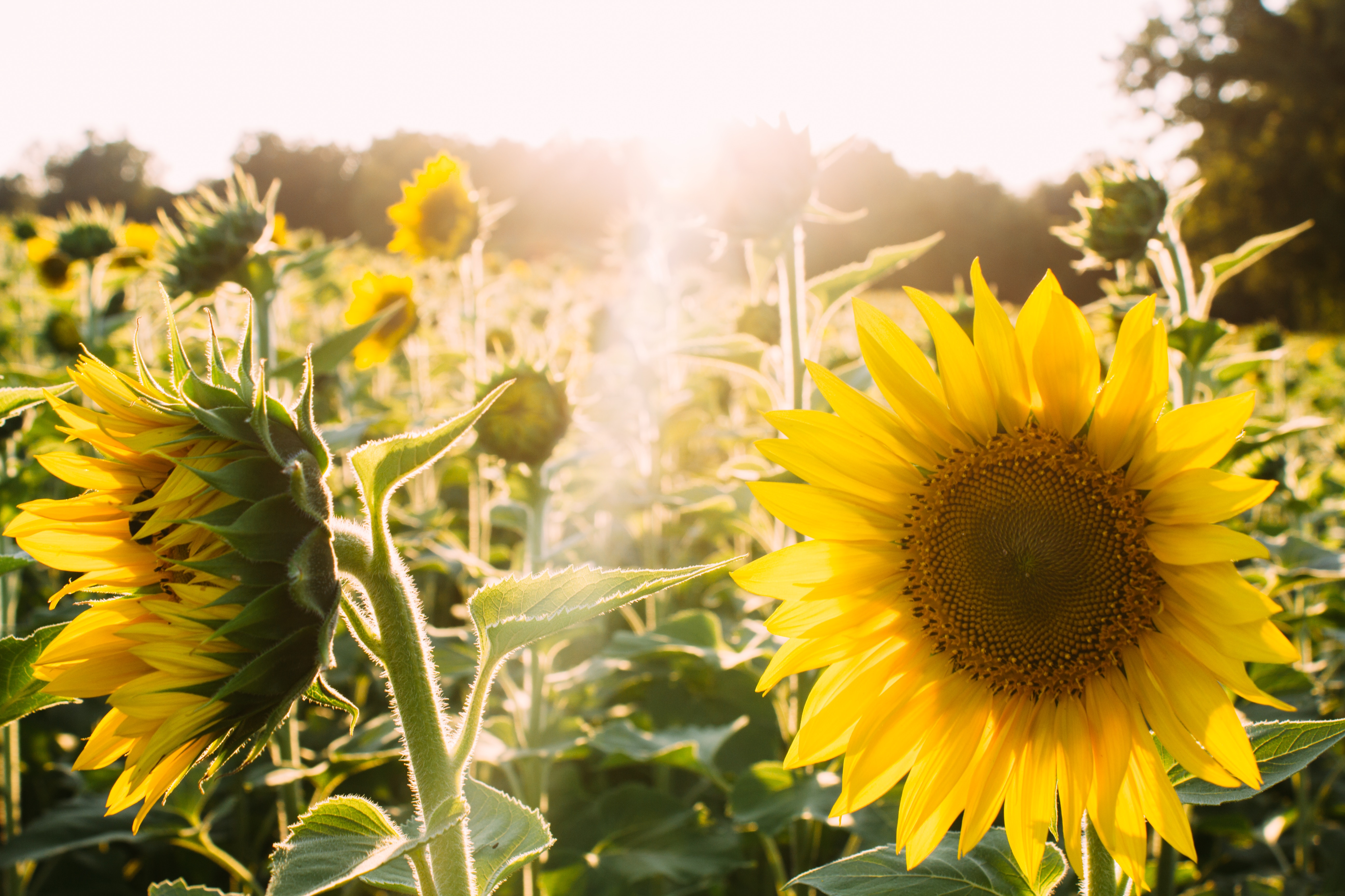 Lecithin: What Is It and How Does Sunflower Lecithin Help Your Body Stay Healthy