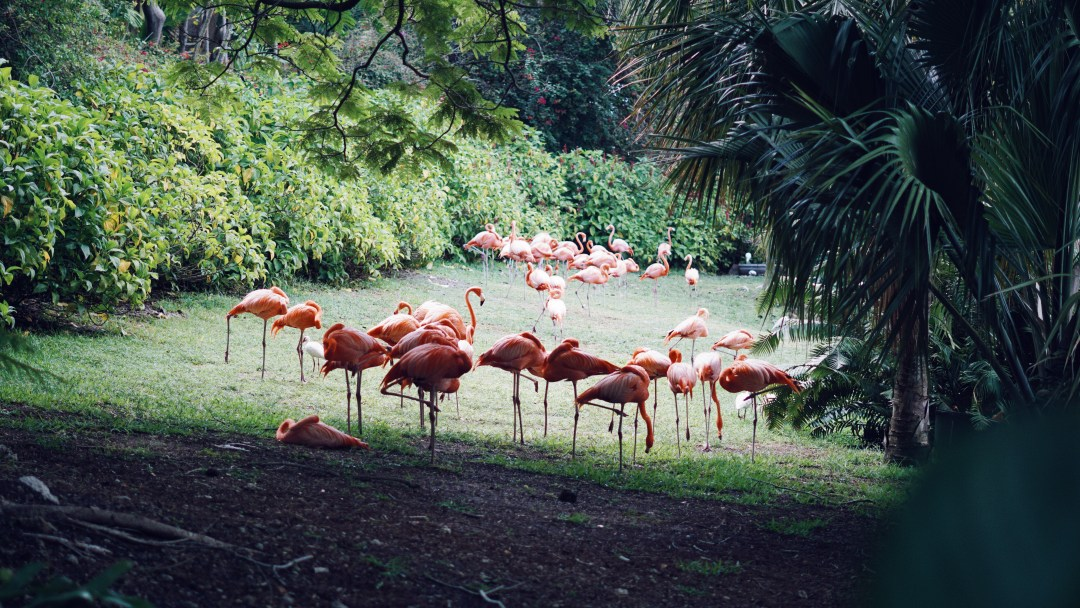 Miami City Guide. Jungle Island Flamingos. Blog by Skirmantas Petraitis.