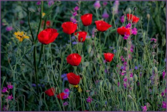 4-red poppies 2