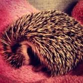 African Pygmy Hedgehog asleep