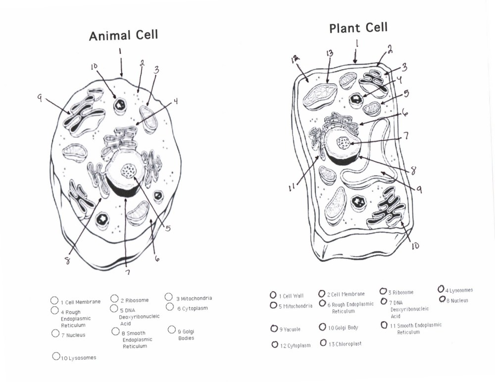 medium resolution of animal cell plant cell handout