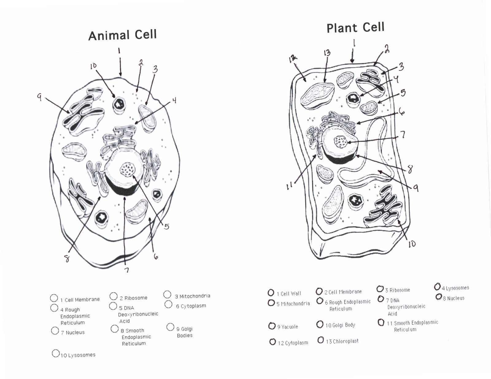 hight resolution of animal cell plant cell handout