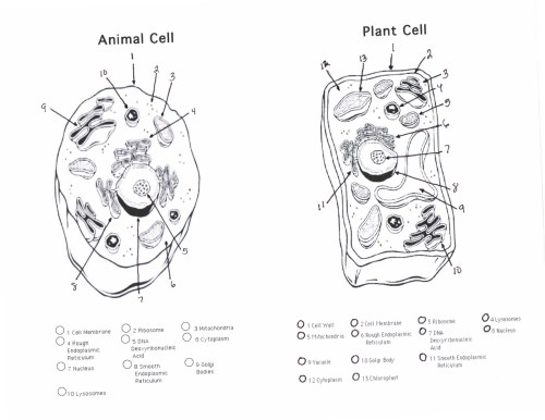 small resolution of animal cell plant cell handout