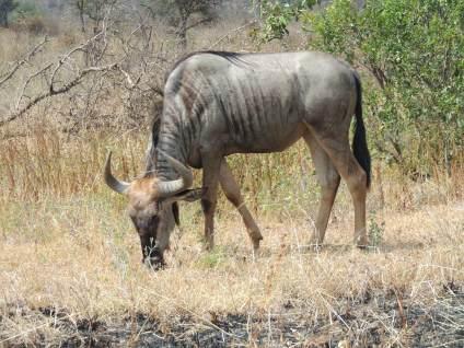 Wildebeest with a bad hairdo