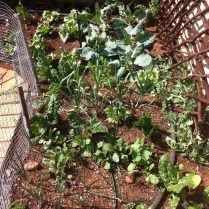 Old pic of section of veggie patch