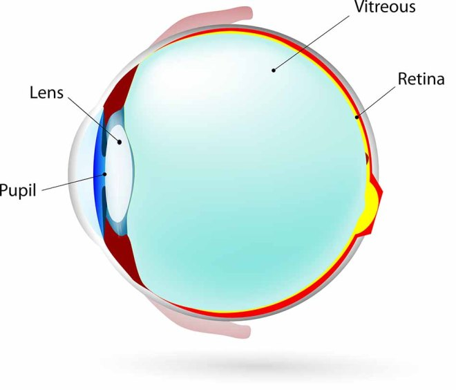 The retina is the thin and highly complex layer of cells lining the inside of the back of the eye. It converts light into electric signals that pass down the optic nerve into the brain.