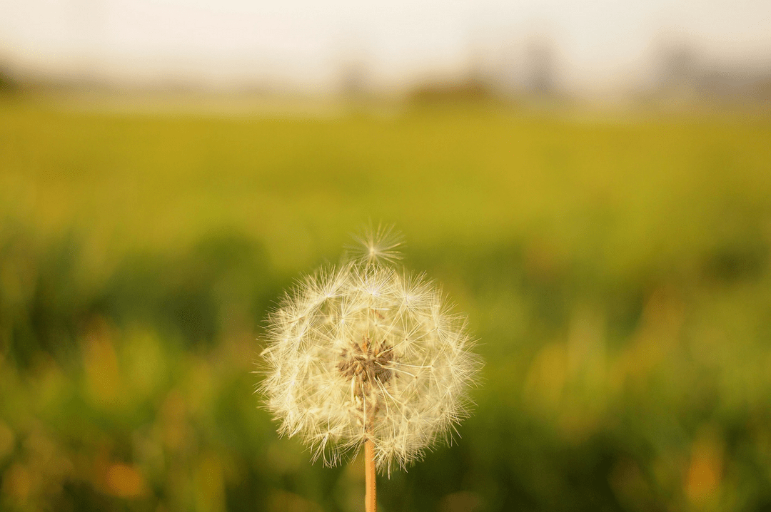 A photograph of a fluffy dandelion in a green field with one dandelion seed about to blow away - An Open Letter To The Woman Who Has Just Miscarried - Mrs H's favourite things