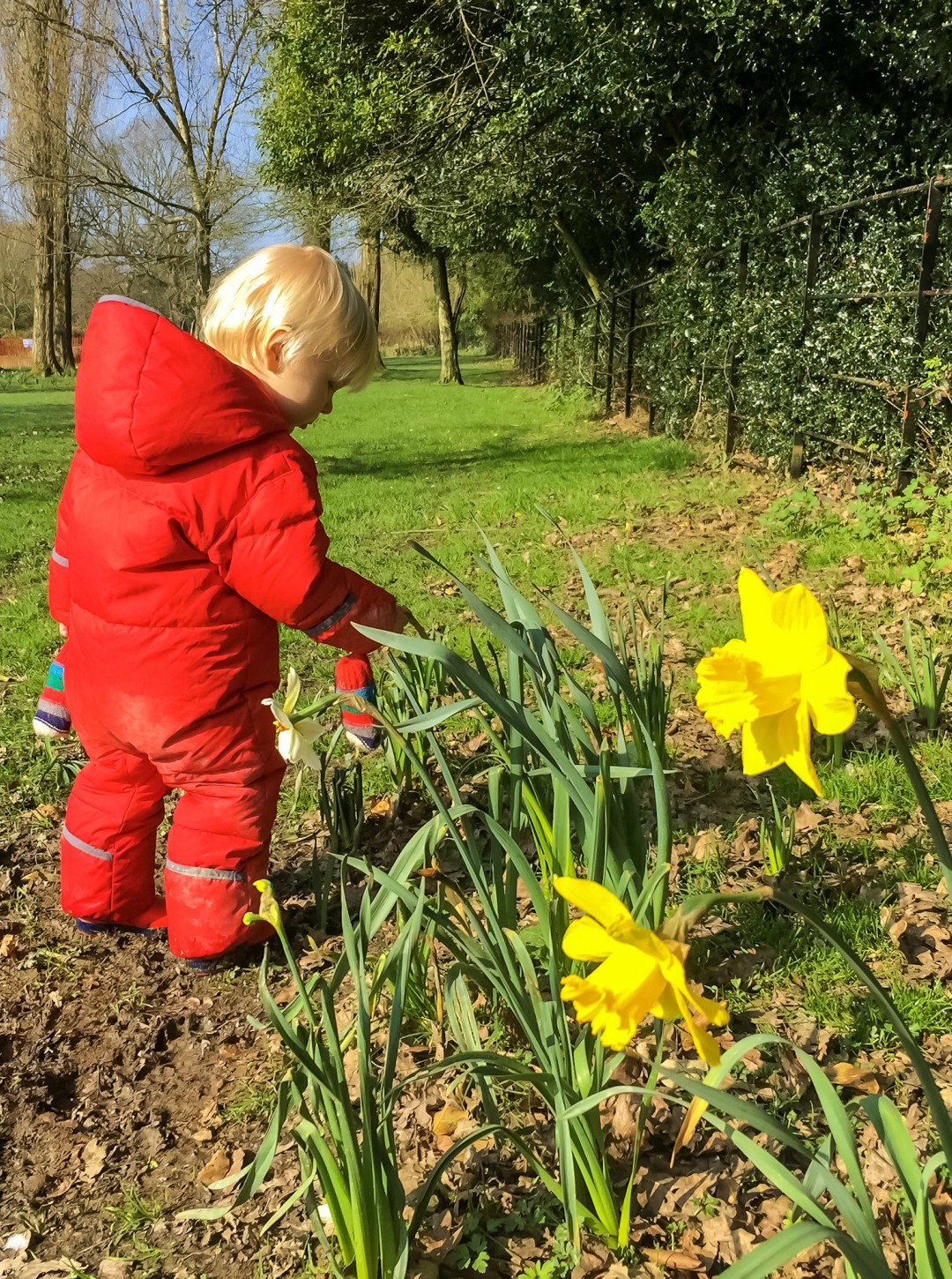 A little boy walking through some daffodils in Dunorlan Park, Kent - Our Weekend Happy 12 - Park Run, Play Parks & A Visit To A Roman Villa - Mrs H's favourite things