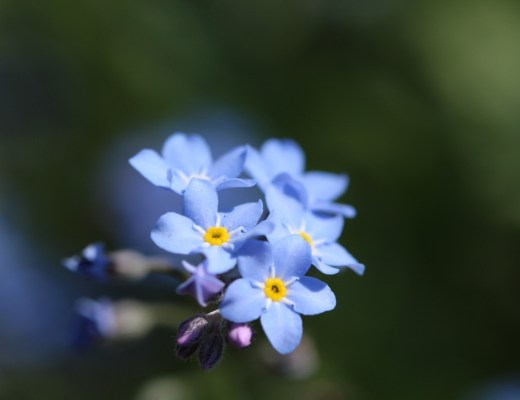 A photograph of a small bunch of forget-me-nots - Symptoms & Diagnosis Of My Missed Carriage - Mrs H's favourite things