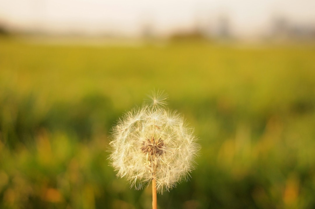 A photograph of a single dandelion with one seed about to blow away - The Symptoms And Diagnosis Of My First Missed Miscarriage - Mrs H's favourite things