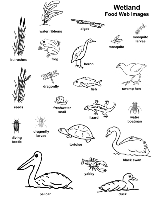freshwater biomes food chain diagram ice maker wiring wetland example |