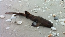 A baby nurse shark washes up on the shore of Marco Island.