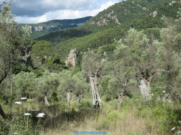 Olive Tree Grove_new