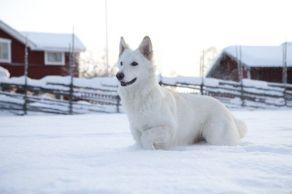Beautiful white Shepard!