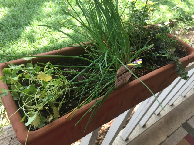 Herb planter with cilantro, chives, and oregano