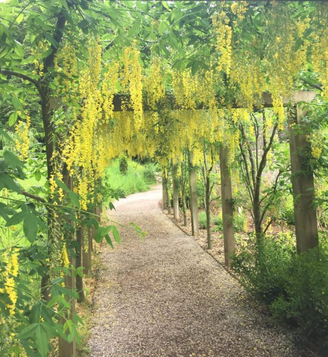 A pathway dripping with the Golden Rain Tree at the Blarney Castle gardens.