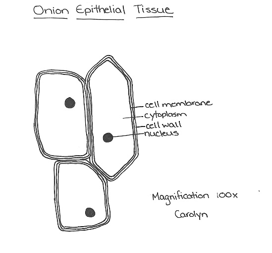 onion cell diagram 240v motor wiring single phase of epidermal 9 reactions life wk1 mrs morritt sciencewww edu pe ca gray class pages rcfleming cells