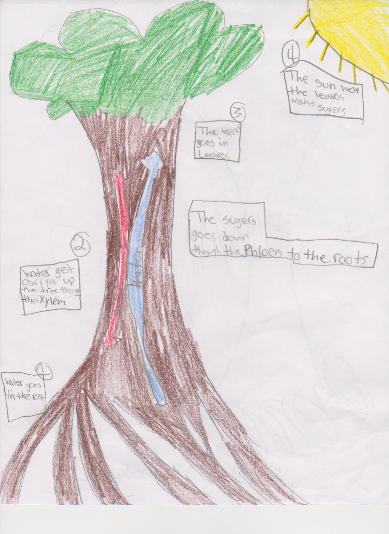 photosynthesis process diagram for 5th grade dimmer wiring fifth respiration and transpiration mrs moskal