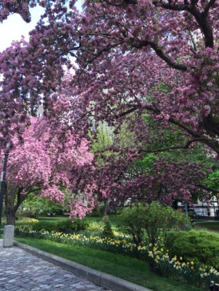 Osgoode Hall Blossoms