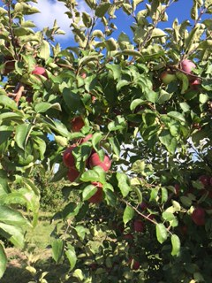 apple-picking-trees