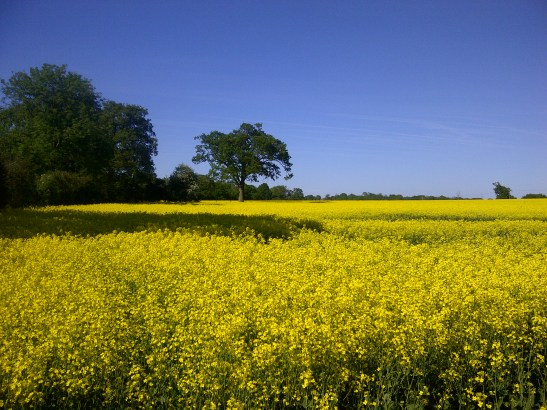 Image of a field of oilseed rape