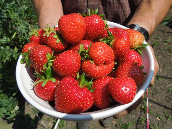 Image of a pair of hands holding big bowl of strawberries