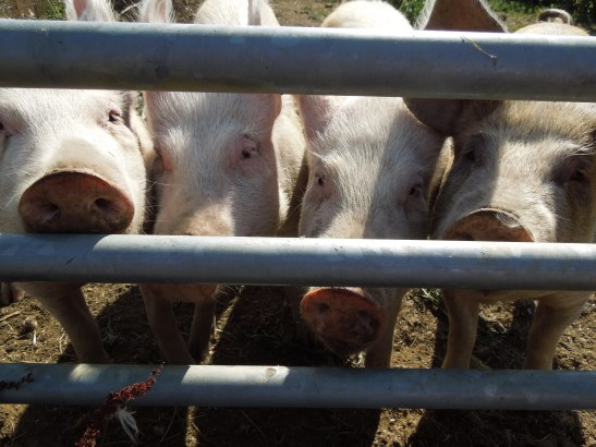 Image of pigs looking through a gate