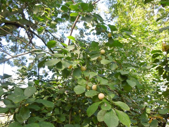 Image of a wild plum tree