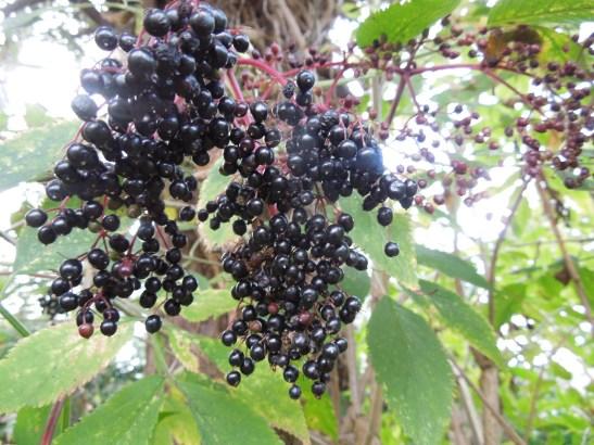 Image of elderberries growing