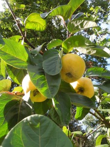 Image of quinces growing on a tree